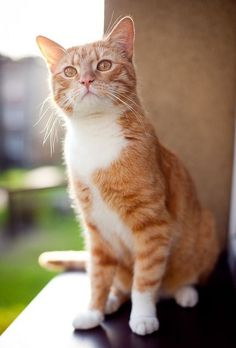 Pablo a ginger kitty catty Orange Cats, White Cats, Pretty Cats, Beautiful Cats, Baby Cats, Cats And Kittens, Gato Grande, Sleepy Cat, Ginger Cats
