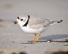 """rhamphotheca: """" A Piping Plover (Charadrius melodus) searches for tasty treats on the beach in Monmouth Co., NJ, USA """""""