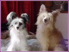 The dog in world: Chinese Crested
