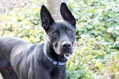 Meet Brodie, a 1-year-old Labrador Retriever / Shepherd mix who is sure to become one of your favorite adventure buddies. This handsome pup will thrive alongside an active personality, where his happy energy is put to good use in hikes, jogs, fun exploration, etc. Brodie was ADOPTED! from Seattle Humane, March 2017