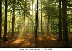 Clear rays of light shining through the forest in early morning. - stock photo