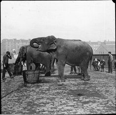 An early 20th century snapshot of elephants (and a camel) enjoying a drink of water. #circus #performer #vintage #elephants #animals #camel #Edwardian