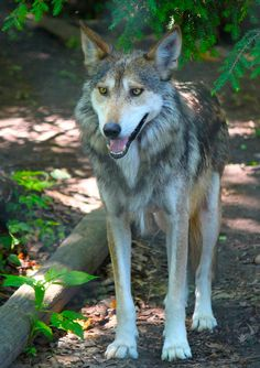 Picture by William J Covello Mexican gray wolf (Canis lupus baileyi)