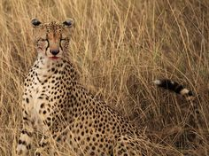 (vía Cheetah Picture – Serengeti Photo – National Geographic Photo of the Day)