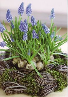 Muscari is a genus of perennial bulbous plants native to Eurasia that produce spikes of dense, most commonly blue, urn-shaped flowers resembling bunches of grapes in the spring. Ikebana, Deco Floral, Arte Floral, Spring Bulbs, Dream Garden, Spring Flowers, Container Gardening, Urban Gardening, Beautiful Gardens