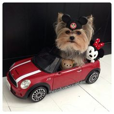 """Yorkie playing """"Mickey"""" taking """"Minnie"""" for a ride! #dogs #pets #MiniatureYorkshireTerriers"""