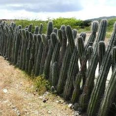 Cactus Fence--this would be so awesome to keep the kids out of the yard