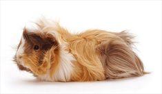 Abessian Guinea Pig Cinsi ve Özellikleri