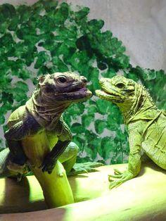 Divagar entre FLORES - ANIMAIS - NATUREZA: Hidrossauro-das-filipinas Mallard, Vida Animal, Animal Kingdom, Blog, Zoological Garden, Air Pollution, Animals, Nature, Everything