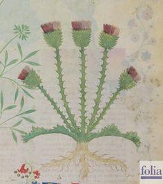 """CONSIGLI DAL MEDIOEVO: I CARDI - """"Secondo Dioscoride il cardo è di natura mordace e aspretta. Il suo succo rimuove l'alopecia dal capo, conforta e aggiusta lo stomaco del malato"""". Dal codice """"Historia Plantarum"""", fine XIV secolo."""