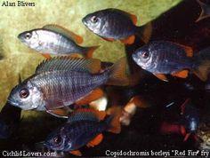 "Copadiochromis ""red fin borleyi"""