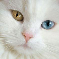 Cats And Kittens Adorable - Cats Anatomy Illustration - Beautiful Cats Silver - - - Grumpy Cats Jokes Cute Cats And Kittens, Cool Cats, Kittens Cutest, Pretty Cats, Beautiful Cats, Animals Beautiful, Gorgeous Eyes, Pretty Kitty, Turkish Van Cats