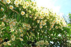 """Ora-pro-nobis – Pereskia aculeata - A ora-pro-nobis é uma trepadeira ou arbusto lenhoso e tropical, de qualidades como comestível e ornamental. Diz a lenda que os moradores de um vilarejo colhiam as folhas da planta no quintal da igreja, enquanto se ouvia o padre rezar, por isso o nome """"ora-pro-nobis""""."""