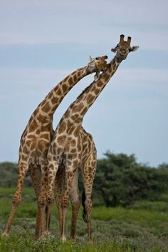 Giraffes necking in Namibia