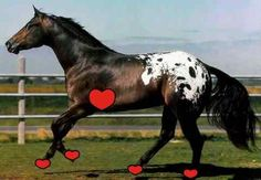 My horse has FIVE hearts - one that beats from within and the other four that beat the earth!   http://www.thelaminitissite.org/chronic-laminitis1.html
