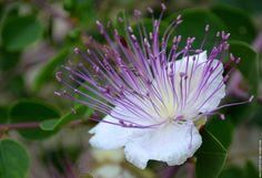 Fleur caprier fleur sauvage