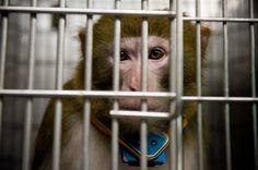 Petition Seeks Better Treatment of Monkeys - NYTimes.com