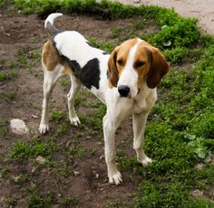 English Foxhound:   English Foxhounds were bred to hunt in large packs alongside the hunter who was on horseback.