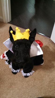 Zoey as the Queen of Hearts (Owner Tiffany Spurlock - Beautiful Scotties)