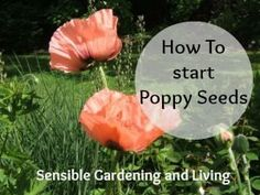 to Start Poppy Seeds How to start Poppy Seeds with Sensible Gardening and LivingHow to start Poppy Seeds with Sensible Gardening and Living Poppy Flower Garden, Poppy Flower Seeds, Peonies Garden, Poppy Flowers, Flower Gardening, Cactus Flower, Flowers Garden, Purple Flowers, Growing Poppies