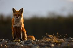 The Vixen : Red Fox - (Vulpes vulpes) - Breckenridge, Colorado : Nate Zeman - Fine Art Nature Photography