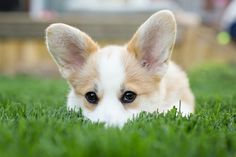 Paddington the Corgi Puppy by Posh Pets Photography   Pretty Fluffy