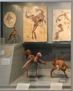 Casts and models of Confuciusornis, Caudipteryx, & Sinsauropteryx at the Juramuseum Eichstätt
