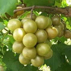 Scuppernong or Muscadine Jelly ~ My step Daddy, JD, made the BEST muscadine wine on the planet. Got his recipe too :o)