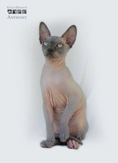 Detailní obrázky Sphynx, Babies, Cats, Animals, Babys, Gatos, Animales, Sphynx Cat, Animaux