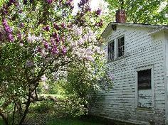 Ancient lilac bush still blooming beside an old forgotten farmhouse.