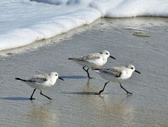 Sand Pipers. Photo by Raymond Gliga