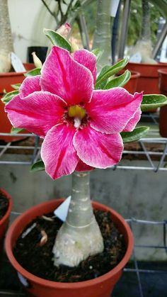 5 Pcs Mini Desert Rose Seeds Adenium Obesum Seeds Double Petals Balcony Bonsai Flowers Seeds True Seed Beauty Your Garden Succulent Tree, Cacti And Succulents, Planting Succulents, Planting Flowers, Potted Flowers, Bonsai Flowers, Rare Flowers, Exotic Flowers, Amazing Flowers