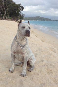 """STORM"" Beautiful Merle Pitbull Puppy. Kailua Beach"