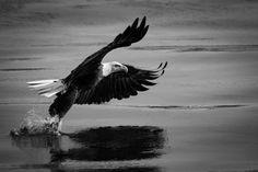 Simply Beautiful Bald Eagle