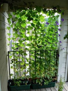 Gaaaden :) Would love this growing curtain on a trellis in the back yard, or on the side of my patio. This would provide GREAT shade in the summer!