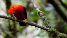 #ManuToursPeru #ManuPark #ManuTrip The Andean cock-of-the-rock (Rupicola peruvianus), also known as tunki (Quechua), is a large passerine bird of the cotinga family native to Andean cloud forests in South America. It is widely regarded as the national bird of Peru.
