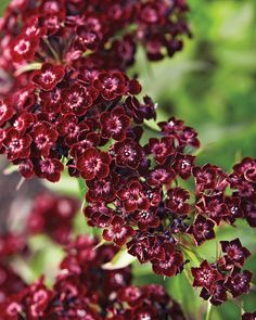 This sun-loving perennial reaches a foot high, and has dark red flowers that bloom from early spring to summer. Cut back spent blossoms to encourage new flowering.