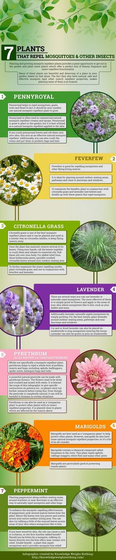 Plants That Repel Mosquitoes Infographic