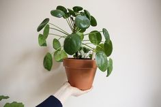 The Chinese Money plant aka Pilea Peperomioides Chinese Money Plant Pilea peperomioides This odd little plant, native . Potted Plants, Garden Plants, Indoor Plants, Beautiful Gardens, Beautiful Flowers, Indoor Garden, Home And Garden, Chinese Money Plant, Belle Plante