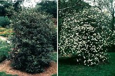 Viburnum x pragense is a large viburnum with evergreen foliage.  It flowers in early summer.  It can be used for year-round screening in a sheltered area of the island.  Try a mass of it along your property's edge instead of the ubiquitous rhododendron