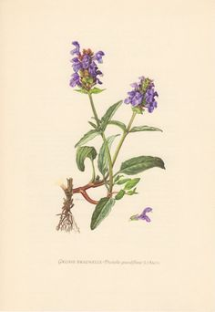 Vintage botanical lithograph printed in 1955, beautifully detailed, brilliantly colored, depicting a Large Self-heal (Prunella grandiflora).  Condition: very good; Original scientific description printed on the reverse.  Paper size: Inches: approx 9.4 x 6.5 (24.0 x 16.7 cm).  Origin: Berlin, Germany.  Antique prints can have some imperfections, discoloration and minimal spots, but this is due to age and give the picture a certain charm. Please look at the pictures carefully, read the…