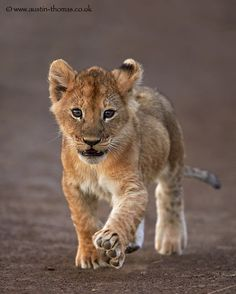 Lion cub - 'Big feet require big steps' by Austin Thomas on Lion And Lioness, Lion Cub, Simba Lion, Cute Baby Animals, Animals And Pets, Funny Animals, Wild Animals, Big Cats, Cats And Kittens
