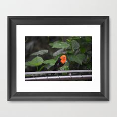 National Aviary - Pittsburgh - Scarlet Headed Blackbird by Sarah Shanely Photography $31.00