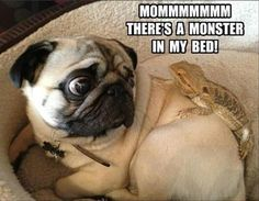 Since Join the Pugs bring the cuteness to Pug lovers all over the world. If you love Pugs. you'll love our website and social media. Funny Animal Quotes, Animal Jokes, Cute Funny Animals, Funny Animal Pictures, Dog Pictures, Funny Dogs, Funny Cute, Hilarious, Funny Memes