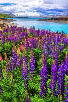 Summer Lupins, Lake Tekapo, New Zealand