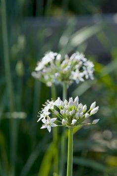 Sept Grow garlic chives - The Washington Post Garden Pests, Herb Garden, Vegetable Garden, Grow Garlic, Garlic Chives, Fresh Garlic, Chives Plant, Perennial Vegetables, Organic Soil