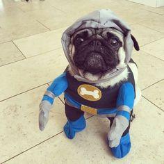 """Na, na, na, nah, #BatPug! ==) @pugandboerboel TAG us to be featured ~ """"It's Bat Pug to the rescue."""" . . . . #smilingpugs #likepugs #obsessedwithpugs #pawesomepugs #pugloversclub #gopugme #emergencypugs #pugsnotdrugs #fawnpug #pugstagram #pugsforall #pugsoninstagram #carlinostagram #mopsofinstagram #topdogworld #cutepugs #jointhepugs #mydogiscutest #puglove #myhooman #scribblepug #puglifemag #pugfashion #worldofcutepugs #batman"""