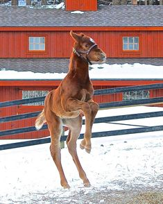 Prepare yourselves because I'm going to give you all a mini spam since I haven't been active lately! First off, here's a beautiful Ironicus filly! {Photo credits belong to Niall Brennan Stables}
