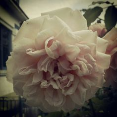 Rosa by Instagram