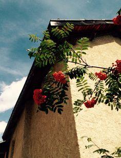 Sorbus, un amico di montagna.  https://jardinmonamour.wordpress.com/2015/08/22/il-sorbo-alberello-generoso-che-dispensa-le-sue-bacche-a-tutti